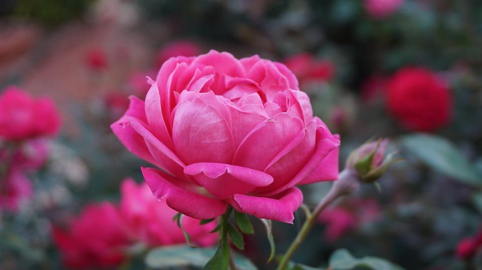 a-rose-1039817_960_720