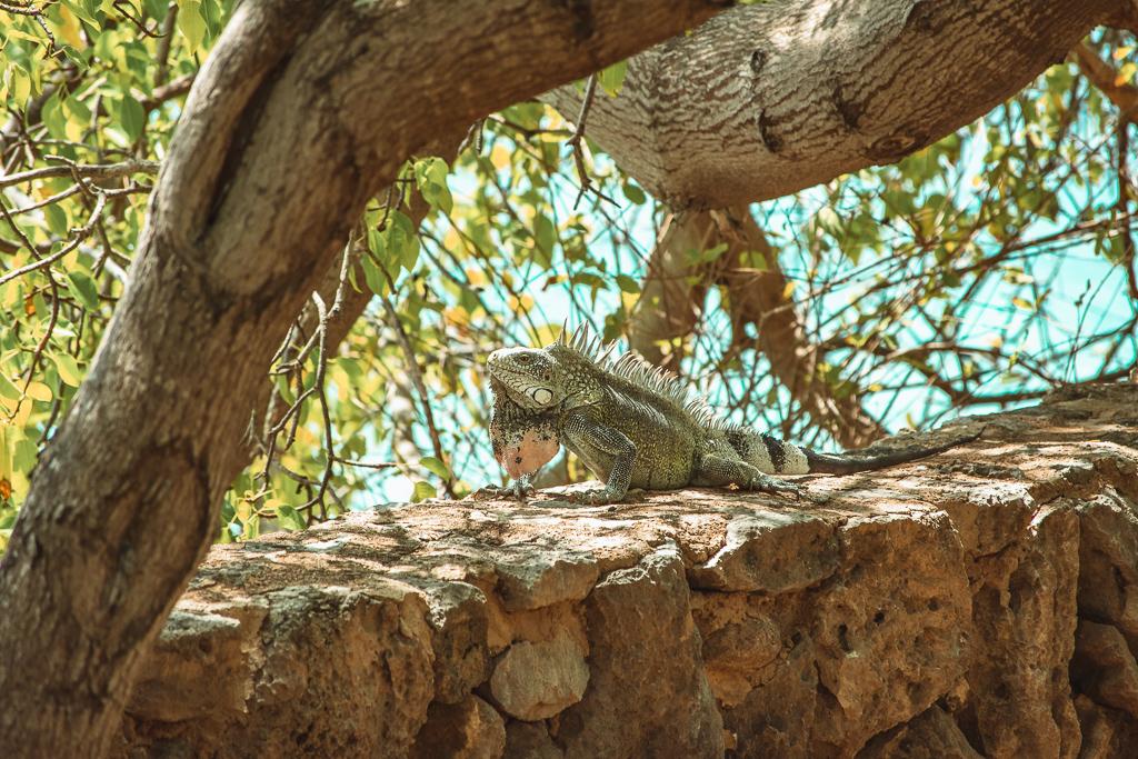 Curaçao iguana