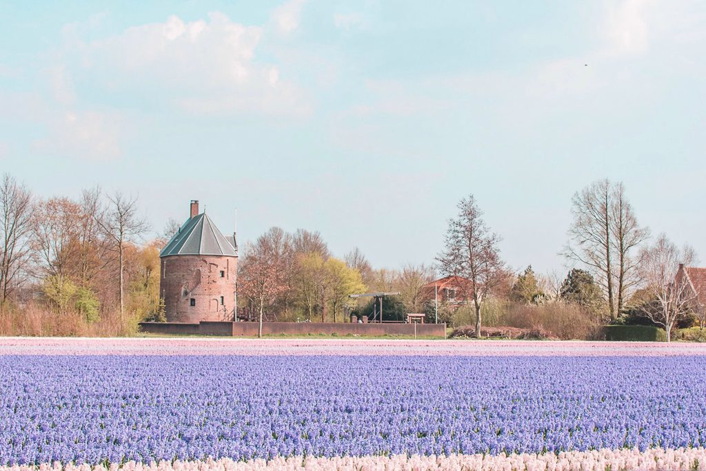 Hyacinth flower field Lisse Netherlands