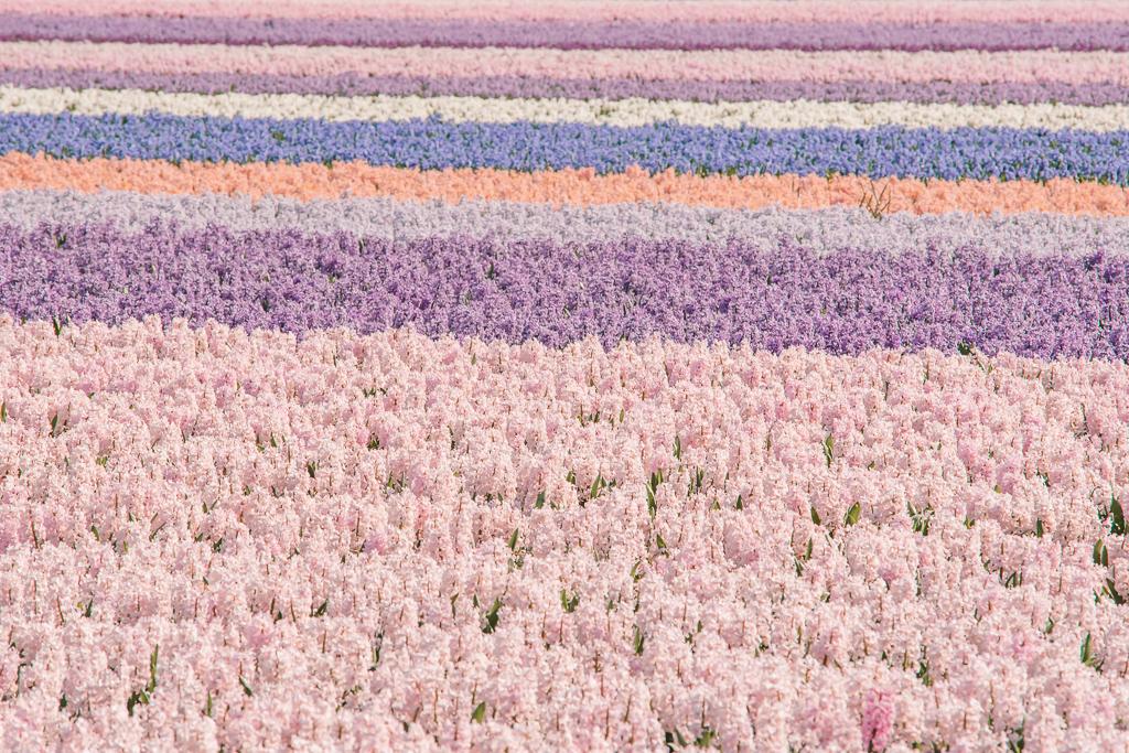 Hyacinth flower fields Lisse The Netherlands