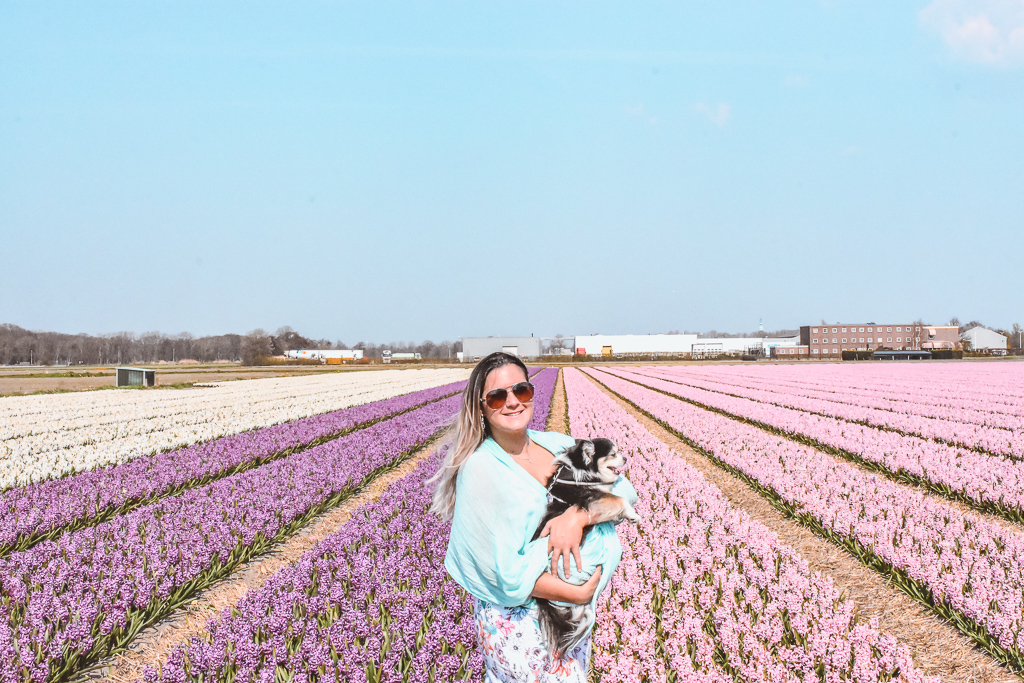 Hyacinth flower fields Voorhout The Netherlands