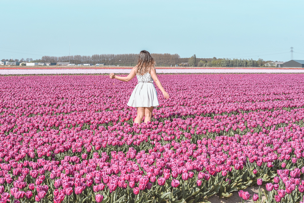 Tulip flower fields Goeree-Overflakkee The Netherlands